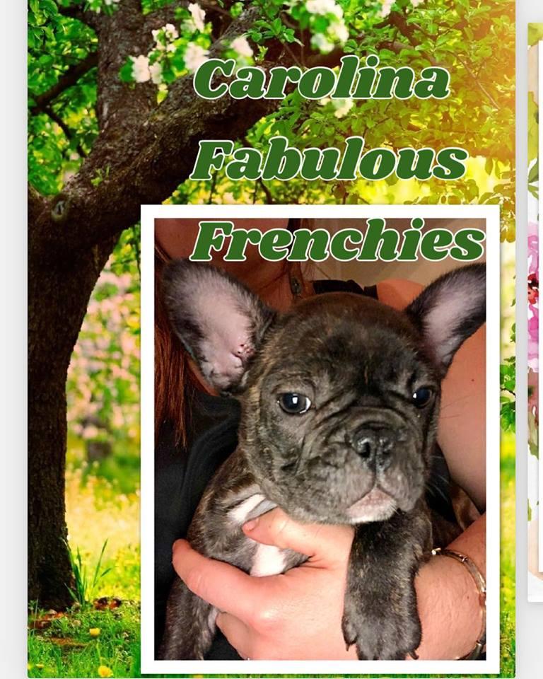 Carolina Fabulous Frenchies Charlotte NC